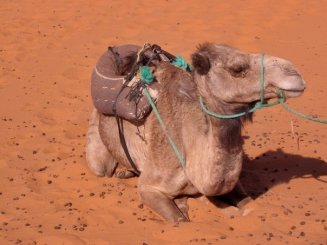 Jimi Hendrix the Camel