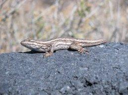 Volcano Lizard