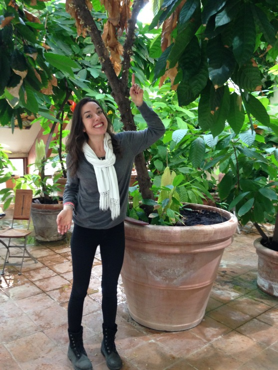 The cacao trees at Peter Beier HQ are quite happy in giant plant pots - Gurre, Denmark