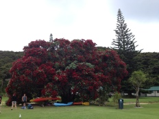 The Pohutukawa tree...