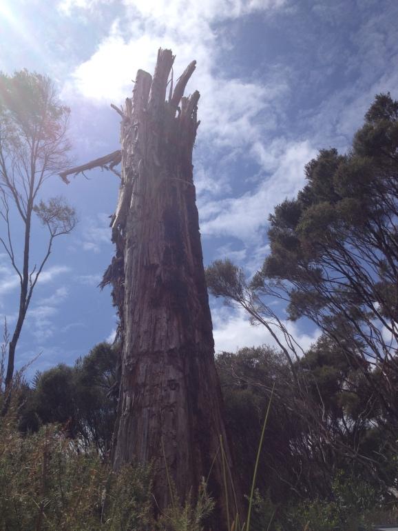 An upright Kaori tree, towering into the sky