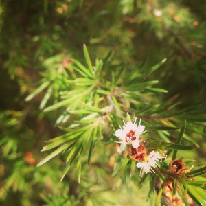 Manuka Tree - famed for it's medicinal properties and no longer thought of as a weed