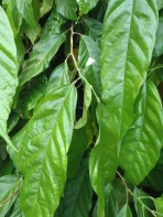 Leaves of a cacao tree