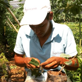 To graft cacao root stocks you need a steady hand