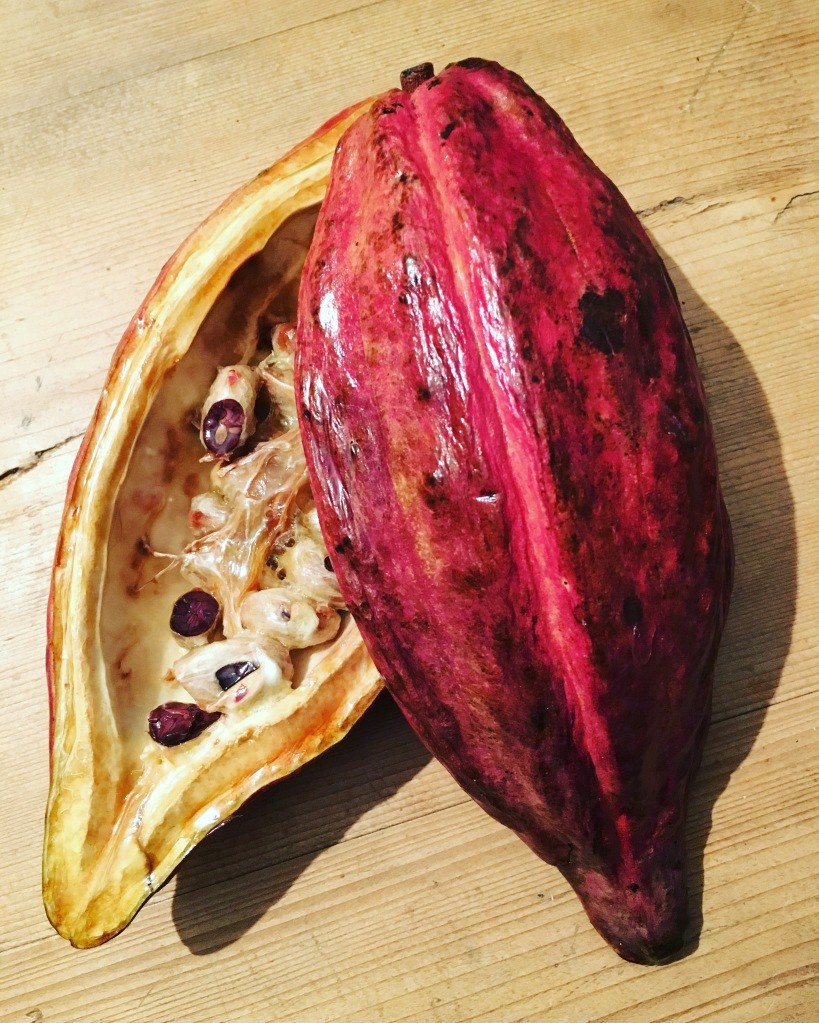 My pride and joy - a freeze-dried cacao pod, courtesy of Kings College London!