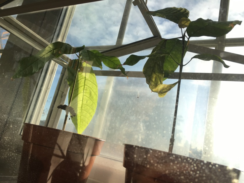 Cacao seedlings on the window sill