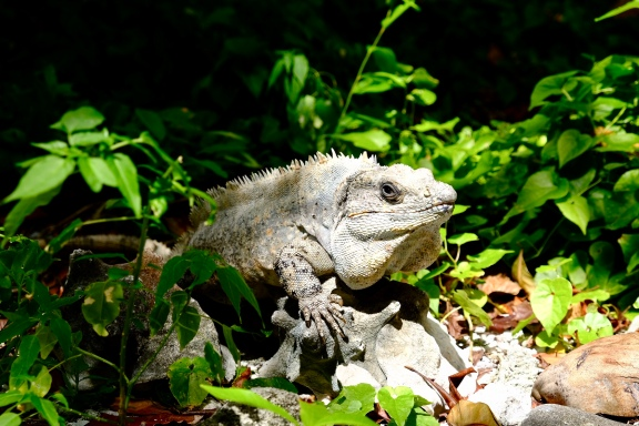 Iguanas in the Undergrowth