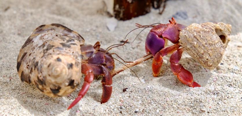 Crab Wars